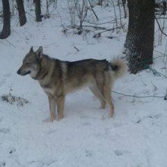 Продам гибрид второго поколения волка и ЗСЛ
