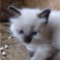 Продам чистокровних сіамських кошенят